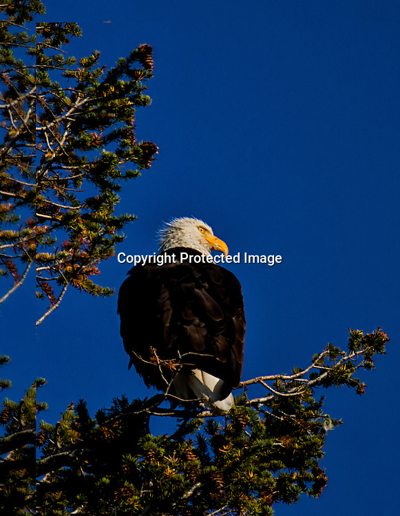 An American Bald Eagle sits in a tree in yellowstone.