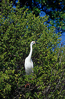 little egret, Egretta garzetta, Aldabra Atoll, Natural World Heritage Site, Seychelles, Indian Ocean
