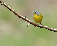 The Nashville Warbler, Vermivora ruficapilla, is a small songbird in the New World warbler family.
