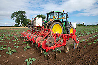Applying liquid nitrogen to cauliflower - Lincolnshire, August