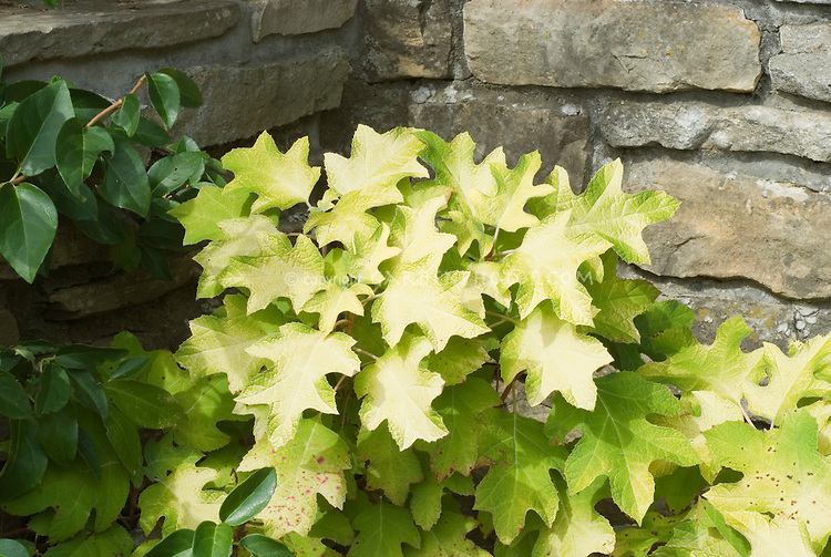 Hydrangea quercifolia 'Little Honey' shrub against stone wall to show small size and golden foliage, plant habit, garden use