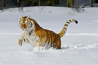 Siberian Tiger or Amur Tiger (Panthera tigris) in winter snow.