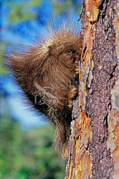 Young baby porcupine on side of ponderosa pine tree.