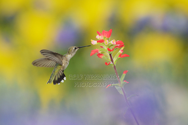 Black-chinned Hummingbird (Archilochus alexandri), adult female in flight feeding on Indian Paintbrush (Castilleja miniata) flower, Bandera, Central Texas, USA
