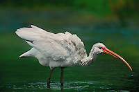 550500001 a juvenile white ibis eudocimus alba forages for waterborne prey in a small pond on a cattle ranch in the rio grande valley of south texas united states