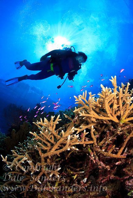 Scuba diver decends  on Vanessa's Reef in Kimbe Bay off New Britain Island, Papua New Guinea.