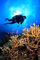 Scuba diver decends  on Vanessa's Reef in Kimbe Bay off New Britain Island, Papua New Guinea.