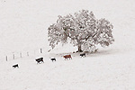 Cattle walk through a snow covered ranch past oaks during winter in the Sierra Nevada Foothills of central Calif.