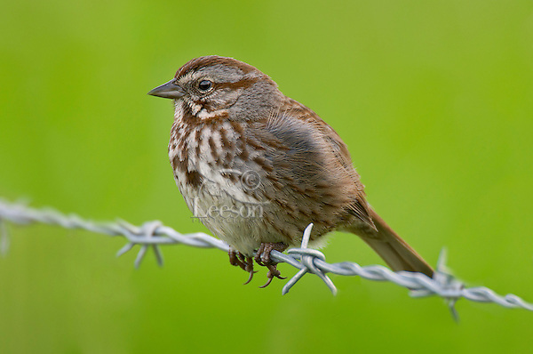 Song Sparrow (Melospiza melodia)