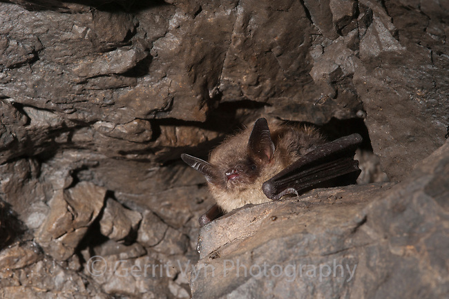 A healthy adult Little Brown Myotis (Myotis lucifugus) peers from a crevice in a hibernaculum infected with white-nose syndrome. This poorly understood and devastating malady may be the gravest threat to bats ever seen.  Ulster County, New York. January.