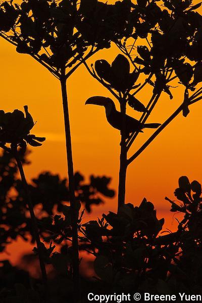 Sunrise, Toucan Silhouette