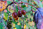 Wild cherries abound at Theler Wetlands, a natural area near the city of Belfair, WA along Hood Canal.