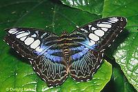 LE45-008z  Butterfly - Dark Blue Tiger from SE Asia - Tirumala septentrionis