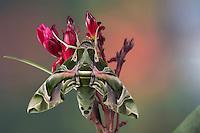Oleanderschwärmer, Oleander-Schwärmer, Daphnis nerii, Deilephila nerii, oleander hawk-moth, oleander hawkmoth, army green moth, Le Sphinx du laurier-rose. Schwärmer, Sphingidae, hawkmoths, hawk moths, sphinx moths, sphinx moth, hawk-moths, hawkmoth
