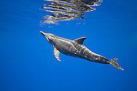 Rough-toothed dolphin (Steno bredanensis), approaching surface to breathe, Kona Coast, Big Island, Hawai'i