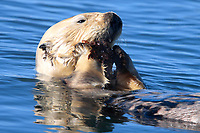 A sea otter (Enhydra lutris nereis) is eating a mussel at Moss Landing @ Moss Landing in the Monterey Bay National Marine Sanctuary.