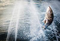 """France, Aquitaine, Pyrénées-Atlantiques, Pays Basque,  Saint-Jean-de-Luz:  le Thonier Canneur ou Thonier Bolincheur """"Aïrosa""""  à la pêche au thon à la  canne,les rampes à eau  sont mises en action pour camoufler le bateau.La pêche se  pratique au vif avec comme appât vivant (peïta) de la sardine //  France, Pyrenees Atlantiques, Basque Country, Saint-Jean-de-Luz: Aïrosa Tuna Pole and Line fishing"""
