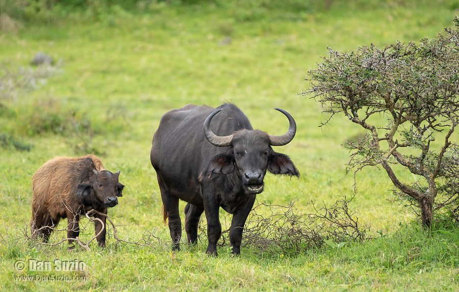 Cape Buffalo mother and calf, Syncerus caffer caffer, in Arusha National Park, Tanzania