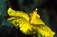 Hawaii's state flower, the native yellow hibiscus, a rare and endangered species