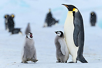 Snow Hill Island, Antarctica. Adult emperor penguin with vocalizing chick.