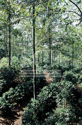Costa Rica. Coffee interplanted with Poro (Erythrina poeppigiana) shade trees.