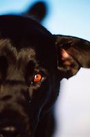 Close up of the face of a Black Labrador Dog.