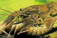 1Y06-049a  Crayfish -  preparing to eat dead crayfish