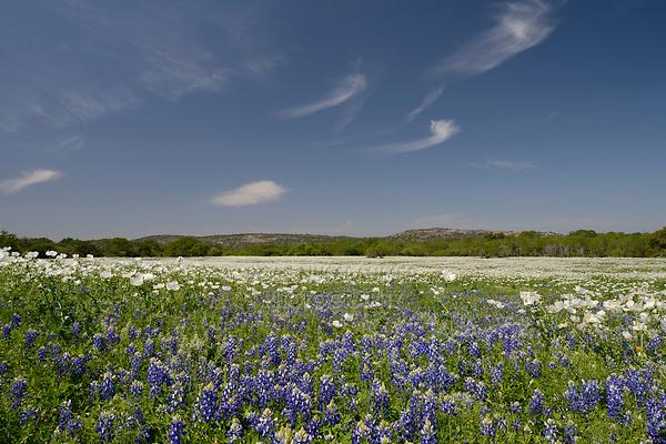 Texas Bluebonnet (Lupinus texensis), White Prickly Poppy (Argemone albiflora), mixed wildflower field, Llano, Texas, USA