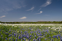 Texas Bluebonnet (Lupinus texensis), White Prickly Poppy (Argemone albiflora), mixed wildflower field, Llano, Texas, USA