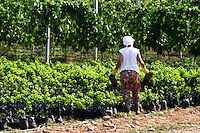 The winery's own vine nursery. Women watering and tending to the young plants. Thousands of vines. Vineyard on the plain near Mostar city. Hercegovina Vino, Mostar. Federation Bosne i Hercegovine. Bosnia Herzegovina, Europe.