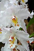 Orquidea visto en el Jardín Botánico, José Celestino Mutis, de la ciudad de Bogotá, Colombia./ Orchid seen at the Botanic Garden, Jose Celestino Mutis, in Bogota, Colombia. Photo: VizzorImage/ Gabriel Aponte / Staff