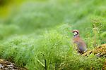 Red-legged Partridge (Alectoris rufa), Sierra de Andujar Natural Park, Sierra de Andujar, Sierra Morena, Andalusia, Spain