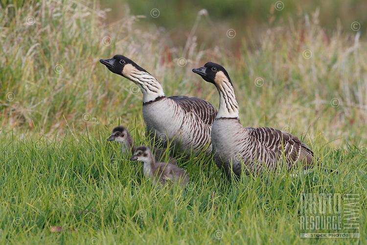A nene (Hawaiian goose) family of four, Hawai'i.