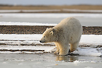 A polar bear cub testing the newly forming ice. Every fall, polar bears gather near the community of Kaktovik, Alaska, on the northern edge of ANWR, waiting for the Arctic Ocean to freeze. The bears have become a symbol of global warming.
