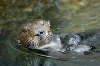 Southern sea otter, Enhydra lutris nereis, Monterey, California, USA, Pacific Ocean, national marine sanctuary, endangered species, reflection