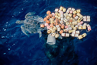 olive ridley sea turtle, Lepidochelys olivacea, tangled in fishing net , East Pacific Ocean