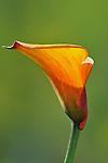 cala lily
