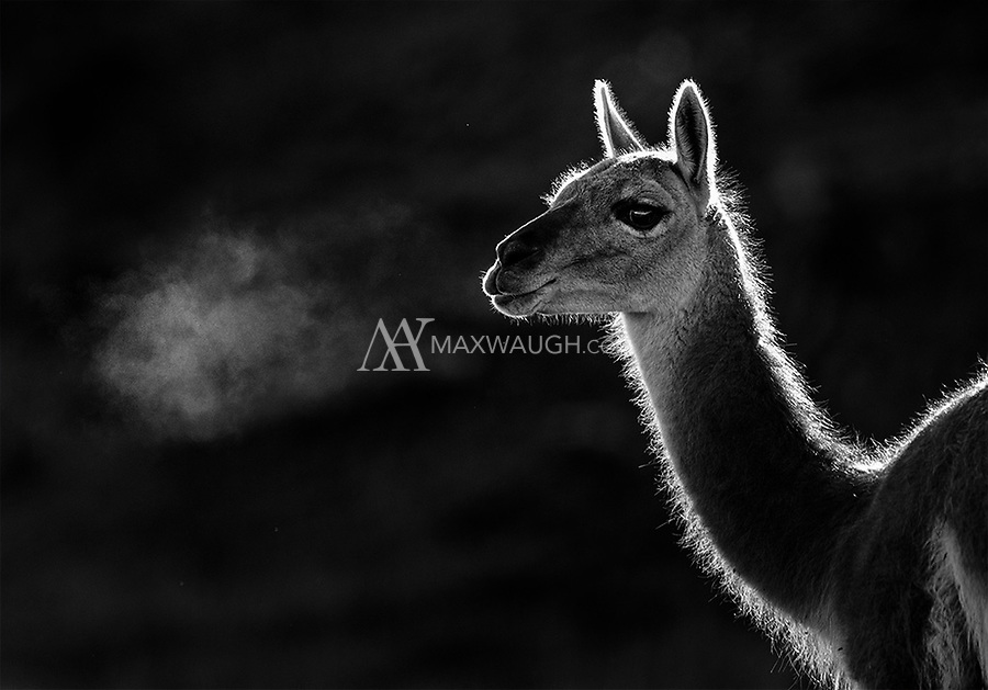 Guanacos are ubiquitous on the edges of Torres del Paine. Though they're a common sight they continuously provide interesting photo opportunities.
