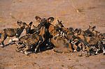 Wild Dog, Kwando, Botswana