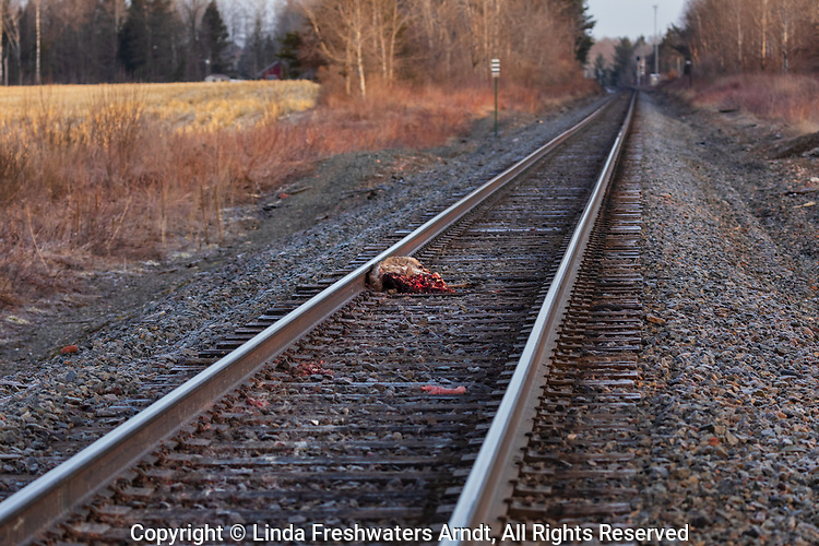 Mangled white-tailed deer on the railroad tracks in northern Wisconsin.