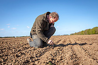 Checking seed depth,  drilling sugar beet - Lincolnshire, March
