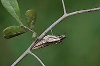Black Swallowtail (Papilio polyxenes), chrysalis, Hill Country, Texas, USA