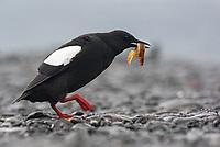 Black Guillemot (Cepphus grylle) displaying with rock gunnel prey. Grimsey Island, Iceland. July.,