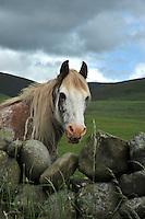 Horse looking over a stone wall near Moffat, Scottish Borders....Copyright..John Eveson, Dinkling Green Farm, Whitewell, Clitheroe, Lancashire. BB7 3BN.01995 61280. 07973 482705.j.r.eveson@btinternet.com.www.johneveson.com