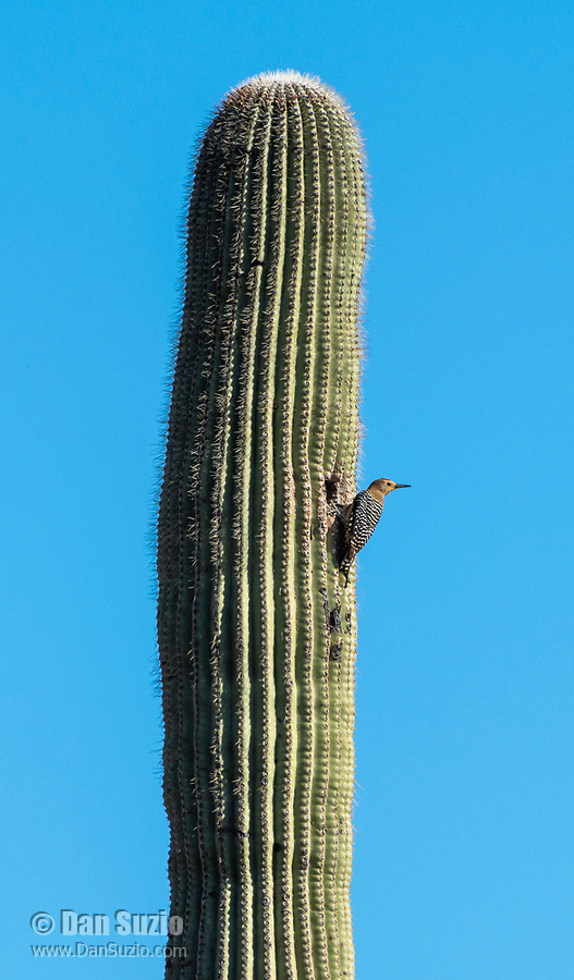 A male Gila Woodpecker, Melanerpes uropygialis, perches outside of its nest cavity in a Saguaro cactus, Carnegiea gigantea, in Saguaro National Park, Arizona