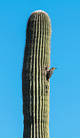 A male Gila Woodpecker, Melanerpes uropygialis, perches outside of its nest cavity in a Saguaro cactus, Carnegiea gigantea, in Saguaro National Park, Arizona