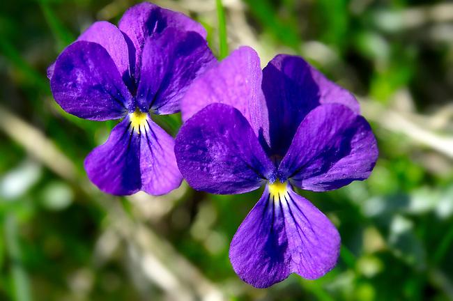 Alpine meadow violet Swiss Alps Switzerland Europe