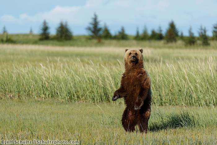 Brown Bear stands up in grass in Lake Clark National Park.  Silver Salmon Creek area. Western Alaska  Summer<br /> <br /> Photo by Jeff Schultz/  (C) 2020  ALL RIGHTS RESERVED