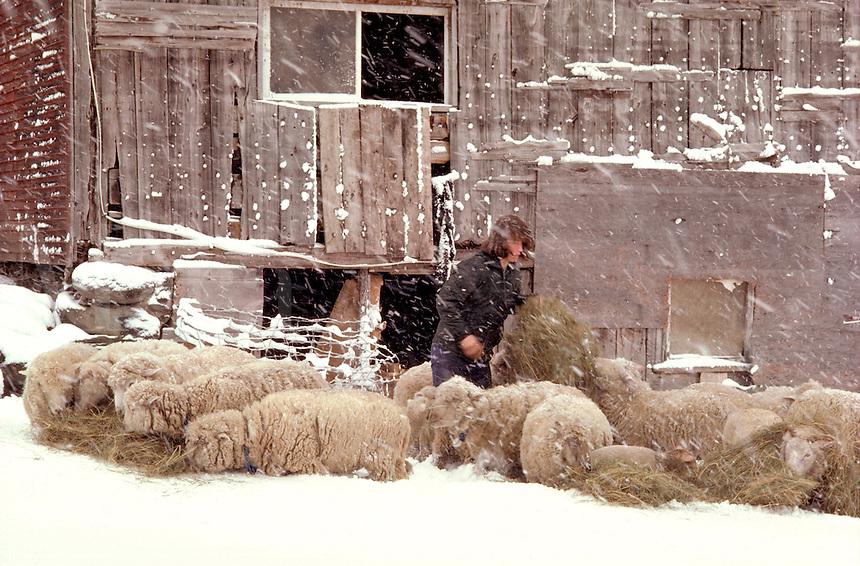 Sheep farmer in Underhill Vermont.