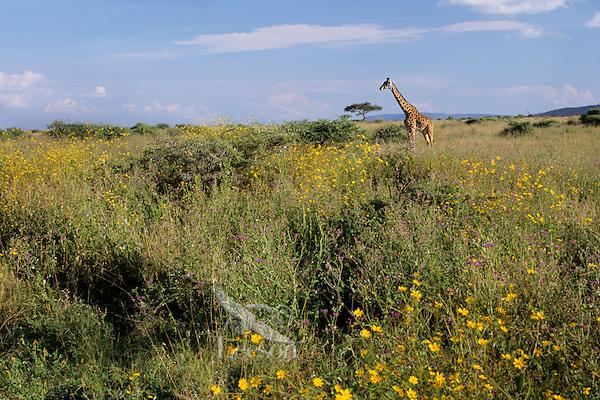 Masai Giraffe (Giraffa camelopardalis).  Serengeti.
